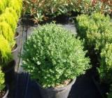 Buxus Sempervirens Globosum - Manji