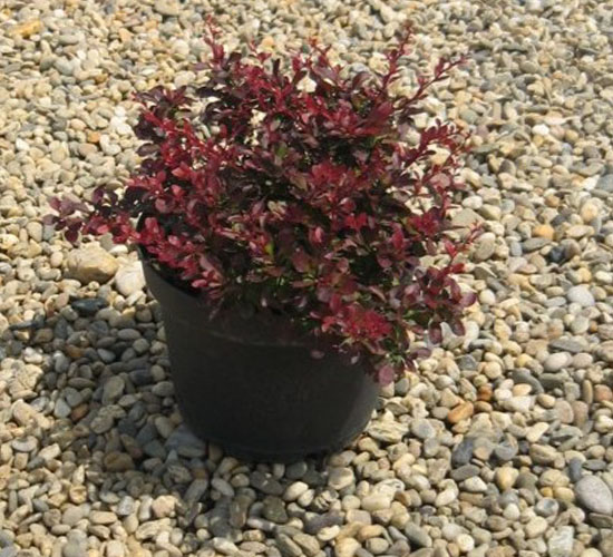 Berberis Thunbergii Atropurpureum Nana/Bagatelle