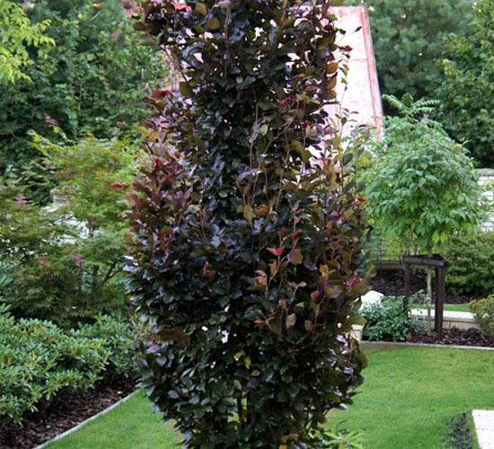 Fagus Sylvatica Davyck Purple