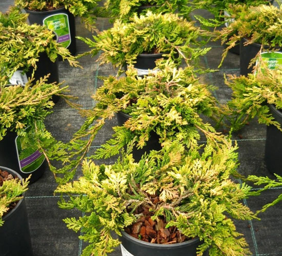 Juniperus Horizontalis Golden Carpet - Manji