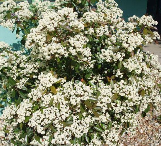 Photinia (u cvatu)