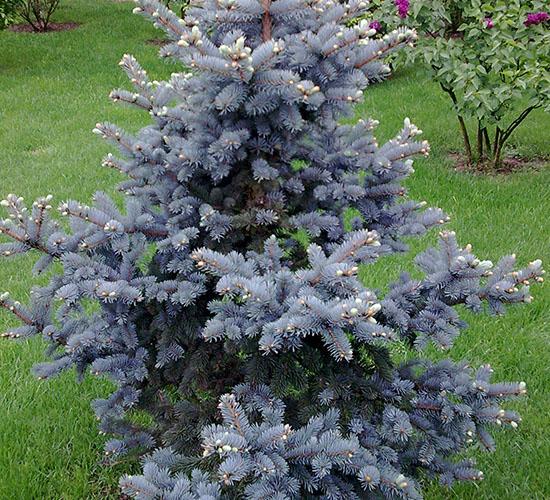 Picea Pungens Kosteri
