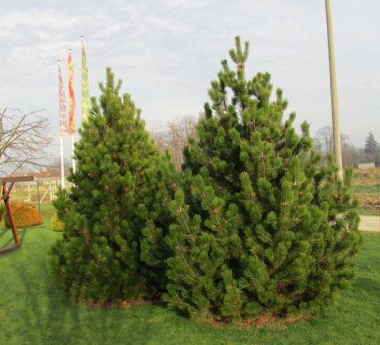 Pinus Leucodermis - 15 god.