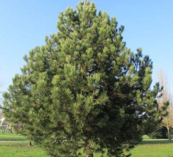 Pinus Nigra - 15 god.