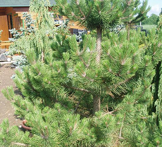 Pinus Nigra Fastigata