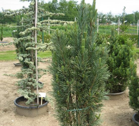 Pinus Sylvestris Glauca Fastigiata