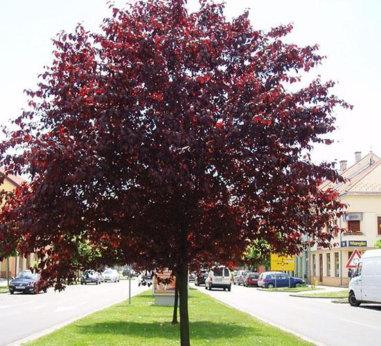 Prunus Cerrasifera Nigra