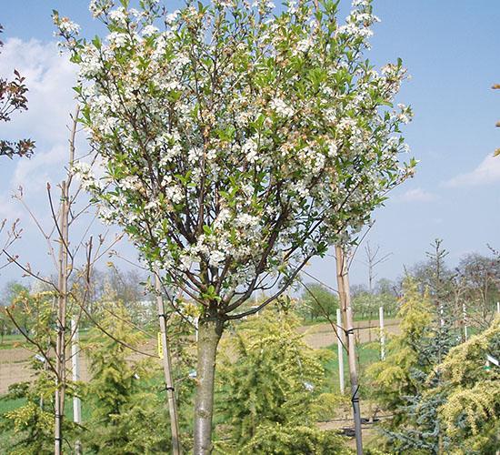 Prunus Fruticosa Globosa