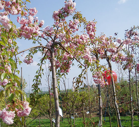 Prunus Serrulata Kiko-Shidare