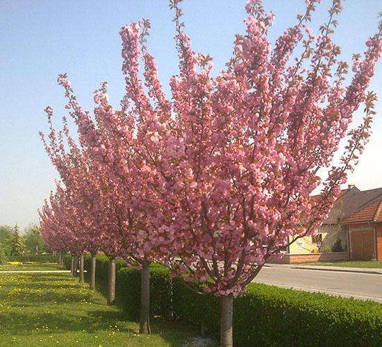 Prunus Serrulata Kwansan