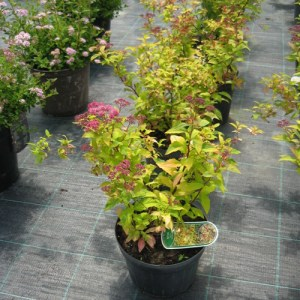 spiraea-japonica-gold-flame6