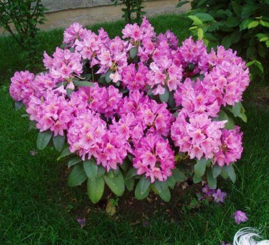 Rhododendron - Mini