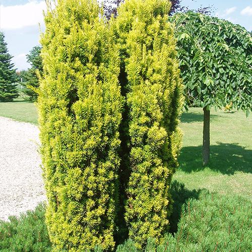 Taxus Bacc. Fastigiata Aurea
