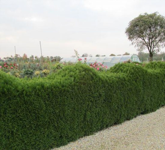 Thuja Occ. Smaragd - ograda